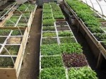 Growing Vegetables in the Greenhouse