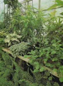 growing-ferns-in-the-greenhouse