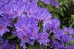 Flowering Shrubs – Rhododendrons and Azaleas