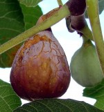 Juicy Facts on Growing Figs
