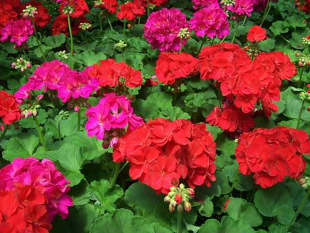 Colours of Summer: Growing Annuals and Biennials