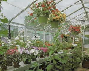 healthy display of begonias and geraniums in a greenhouse