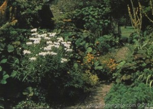 herbaceous plants for the border