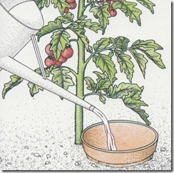 clay-flower-pot-buried-near-a-tomato-plant-makes-an-economical-watering-system_thumb