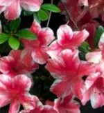 Evergreen Azaleas for Garden and Greenhouse