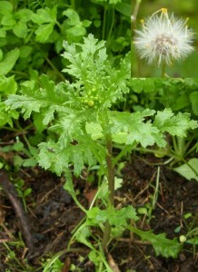 groundsel-garden-weeds