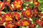 Primulas for Garden and Greenhouse