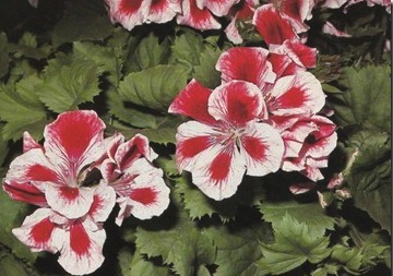 Regal and Zonal Pelargoniums