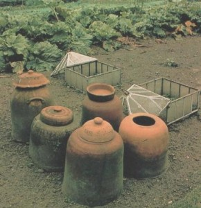 rhubarb-was-traditionally-forced-under-clay-pots