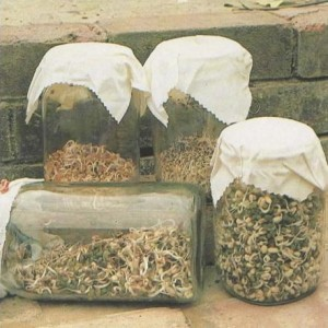 seed-mixtures-sprouted-in-airing-cupboard