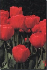 tulips-arrived-in-Britain-in-the-16th-century