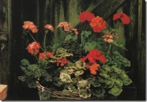 zonal-pelargoniums-bloom-and-bloom
