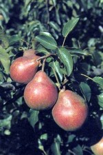 Caring for Fruit Trees and Fruit Plants
