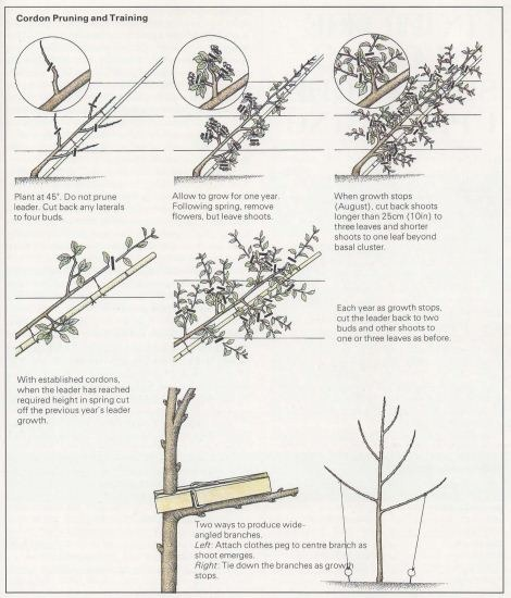 cordon pruning and training