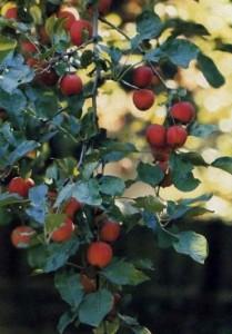 crab-apple-ornamental-fruit-tree