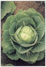 How to Grow Cabbage and Calabrese