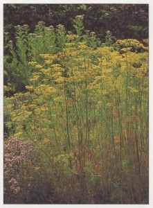 herbs-dill-is-smaller-and-daintier-than-fennel