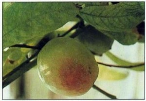 nectarine-Early-River