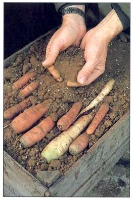 store-carrots-in-boxes-of-soil