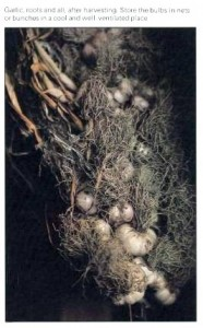 storing-garlic-roots-and-all