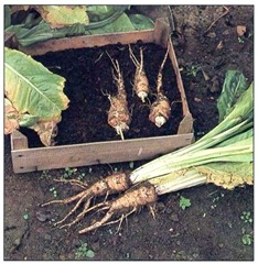trimmed-Witloof-chicory-stored-in-peat-until-required-for-forcing