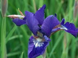 Types of Iris for the Water Garden Pond