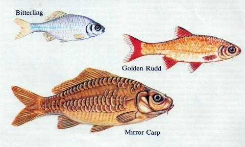 Some common cold water pond fish for Types of fish that live in ponds