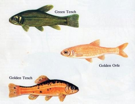 Some common cold water pond fish for Golden ornamental pond fish crossword