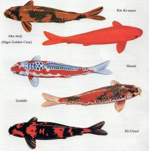 Koi fish meaning images frompo for Types of koi fish and meanings
