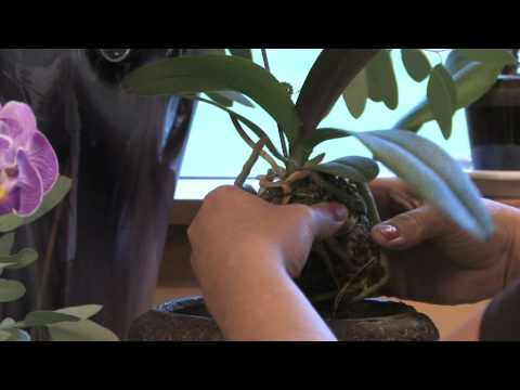 Repotting Orchids – Essential Orchid Information