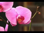 Watering Orchids – Orchid Growers Tips