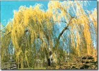 The graceful weeping willow looks best in a larger garden where its eventual 10m spread will not be out of proportion