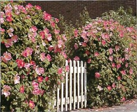 Roses form a colourful hedge. 'Fruhlingsmorgen' ('Spring Morning') bears scented flowers in June and September.