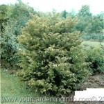 Conifer Trees: Cephalotaxus
