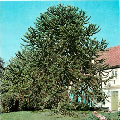 Araucaria araucana - this specimen is well over 100 years old