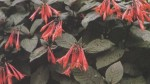 Continuous Flowering Fuchsias