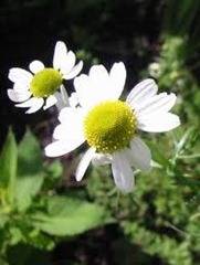 plants to walk on Anthemis nobilis