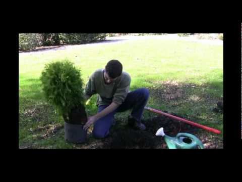 Buying, Planting and Aftercare of Shrubs and Trees
