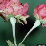 Pests and Diseases Affecting Roses
