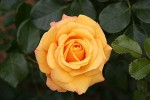 Routine Care for Your Garden Roses