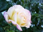 Pruning Different Types of Roses