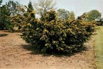 Conifer Trees: Taxus or Yew Trees