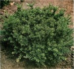 Conifer Trees: Podocarpus