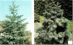 Conifer Trees: Pseudotsuga
