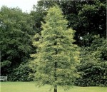 Conifer Trees: Taxodium