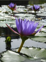 Large water lilies