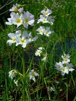 Oxygenating Plants for Garden Ponds