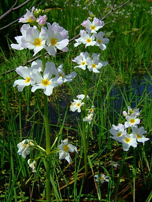 Oxygenating plants for garden ponds for Oxygenating plants for a small pond