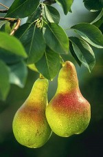 Growing Pears