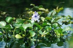 Aquatic Plants for the Garden Pond